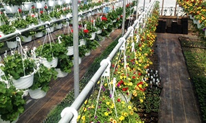 Hanging flower baskets for sale at Scenic View Greenhouse in Rushville, NY